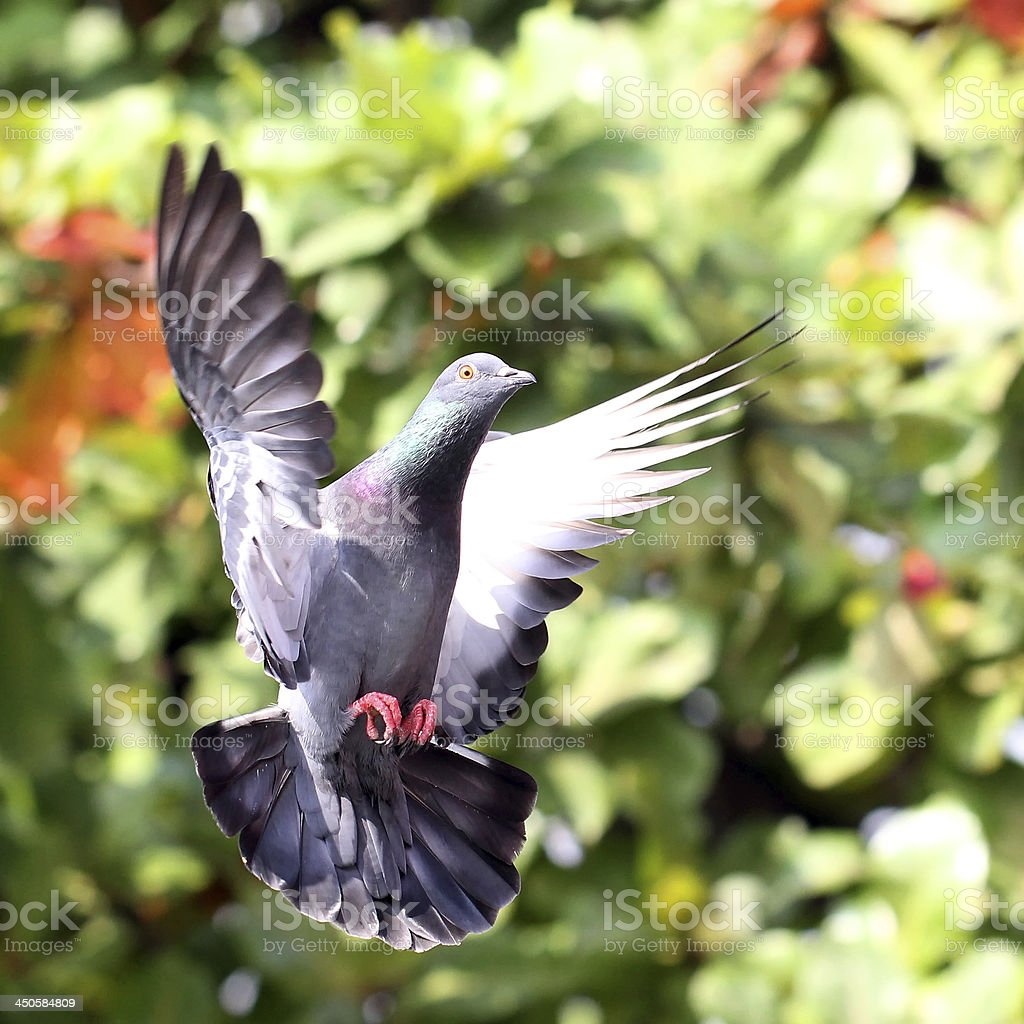 Flying pigeon in natural royalty-free stock photo