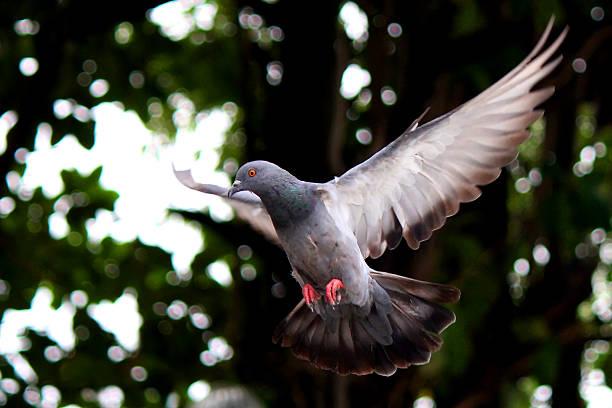 Fliegende Taube in der Natur – Foto