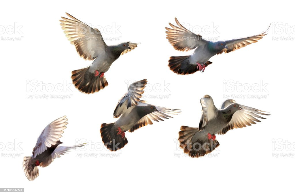 flying pigeon isolated on black background stock photo