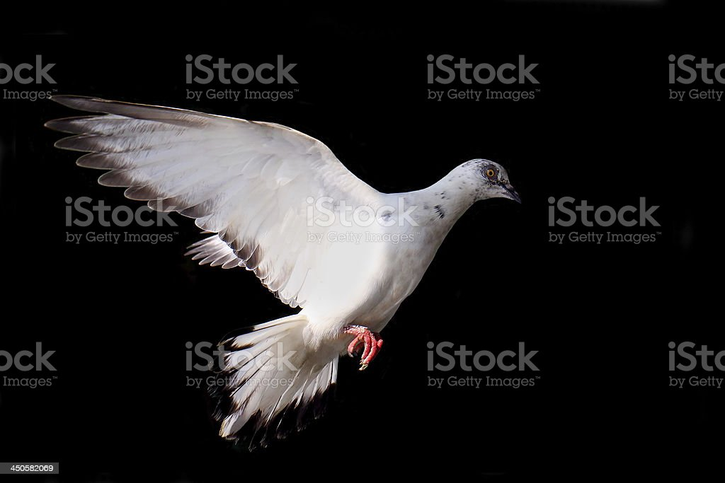 Flying pigeon isolated on black royalty-free stock photo
