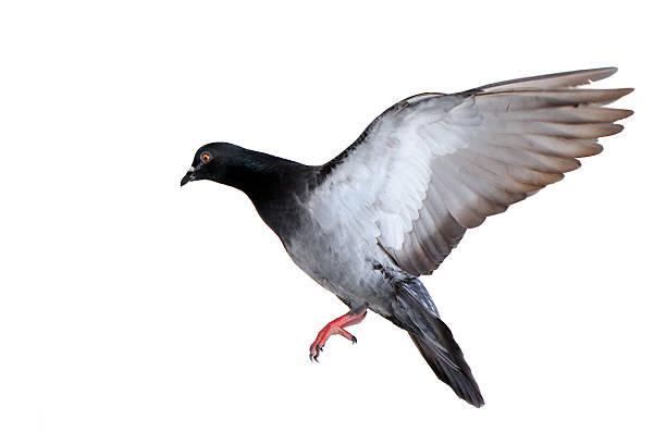 Fliegende Taube isoliert auf weiss – Foto
