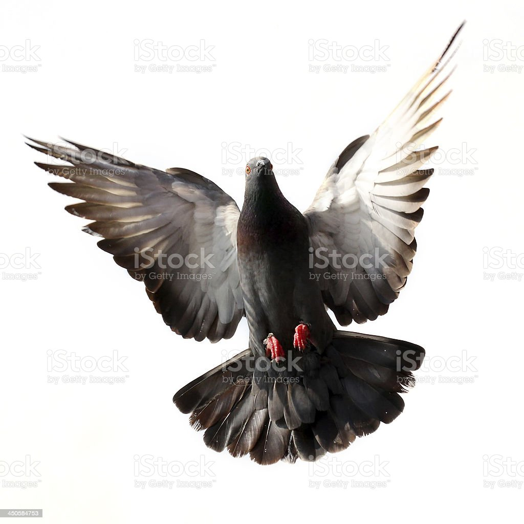Flying pigeon isolated on white stock photo