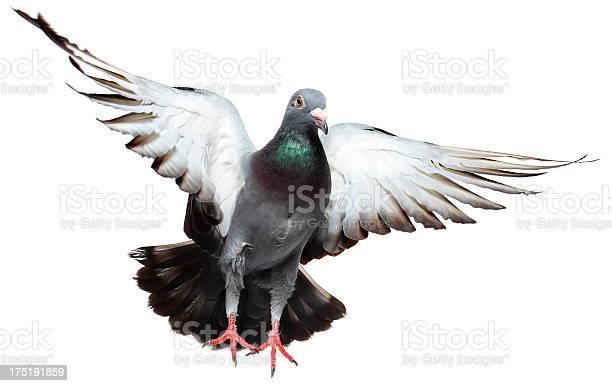 Flying pigeon picture id175191859?b=1&k=6&m=175191859&s=612x612&h=pqr 5td9bipiy ro2hr4u8x6xfst6jzxik20fkama4y=