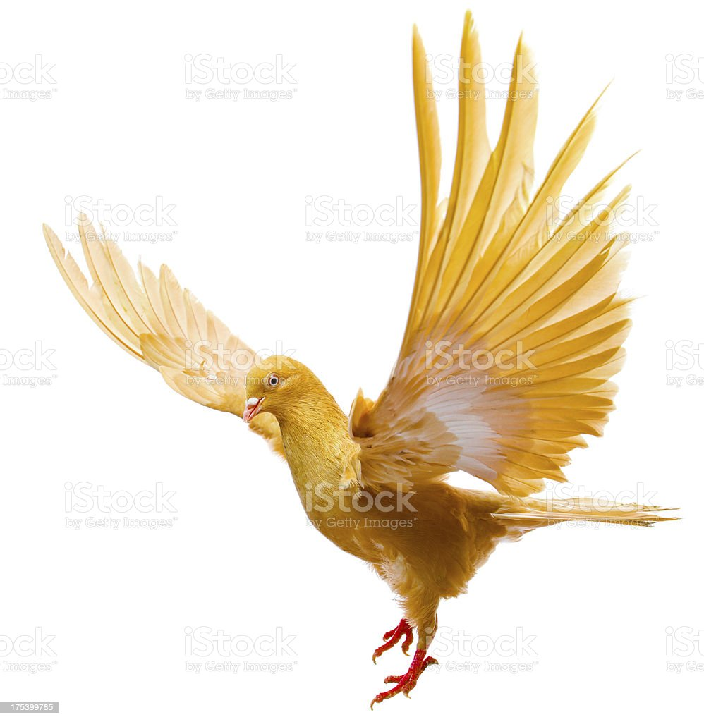 flying pigeon stock photo