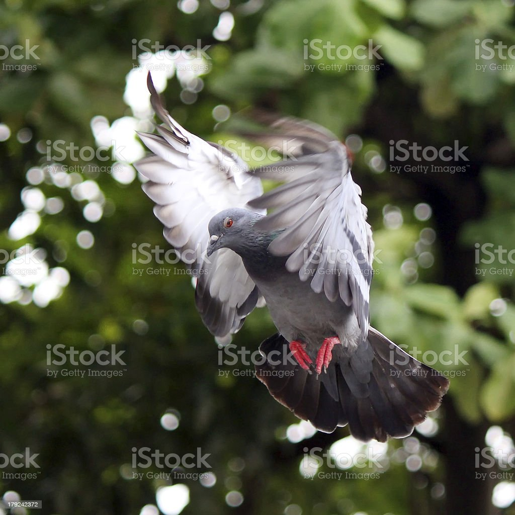 Flying pigeon royalty-free stock photo
