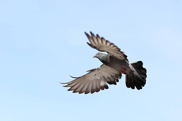Fliegende pigeon – Foto