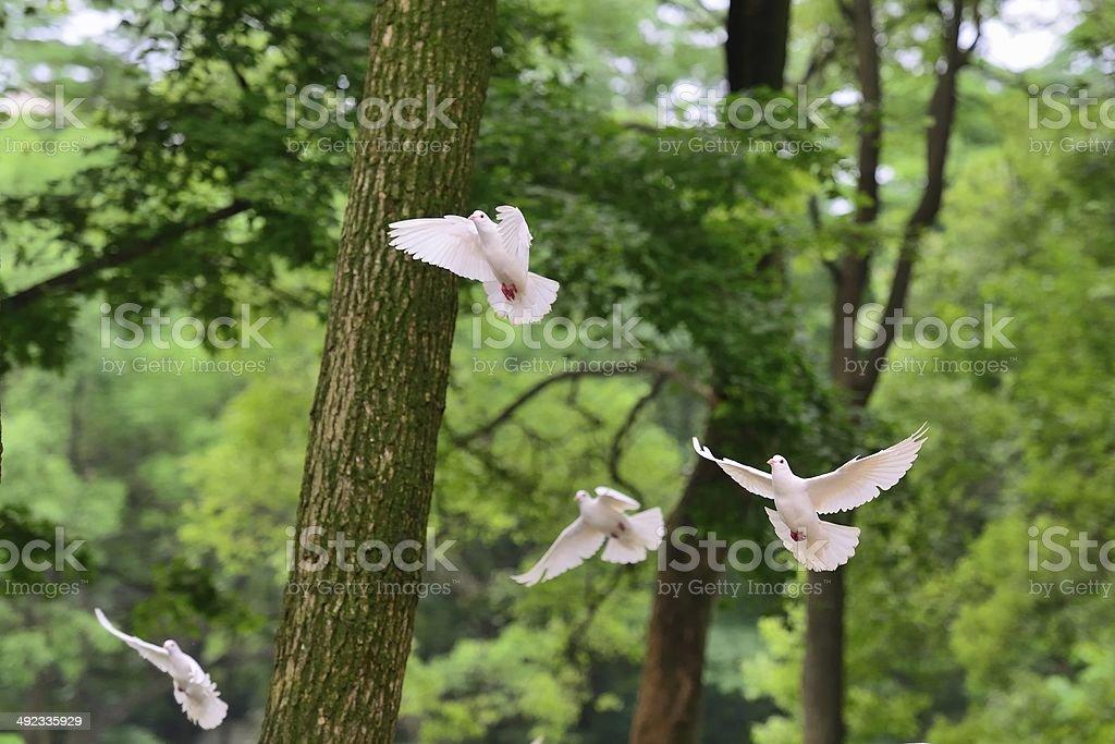 Flying Tauben im Wald, 03 – Foto