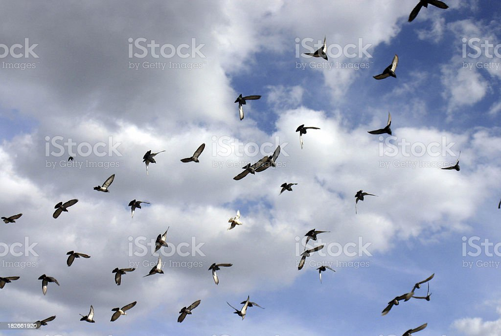 Flying pigeons royalty-free stock photo
