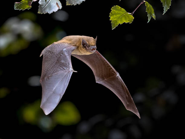 flying pipistrelle bat iin natural forest background - arto di animale arto foto e immagini stock