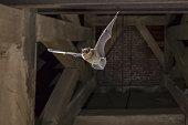 教会の塔の空飛ぶアブラコウモリ バット
