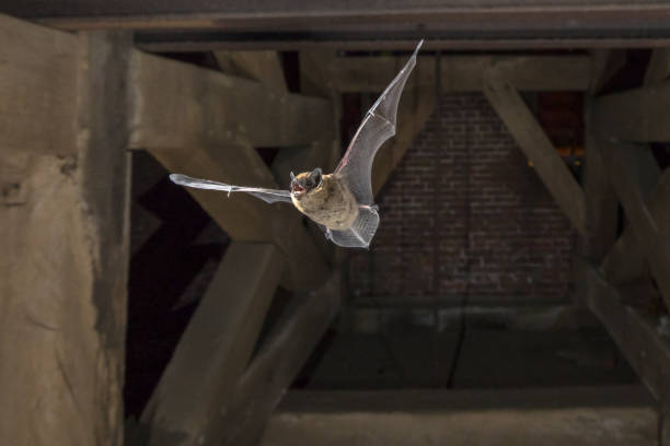 Flying pipistrelle bat in church tower stock photo