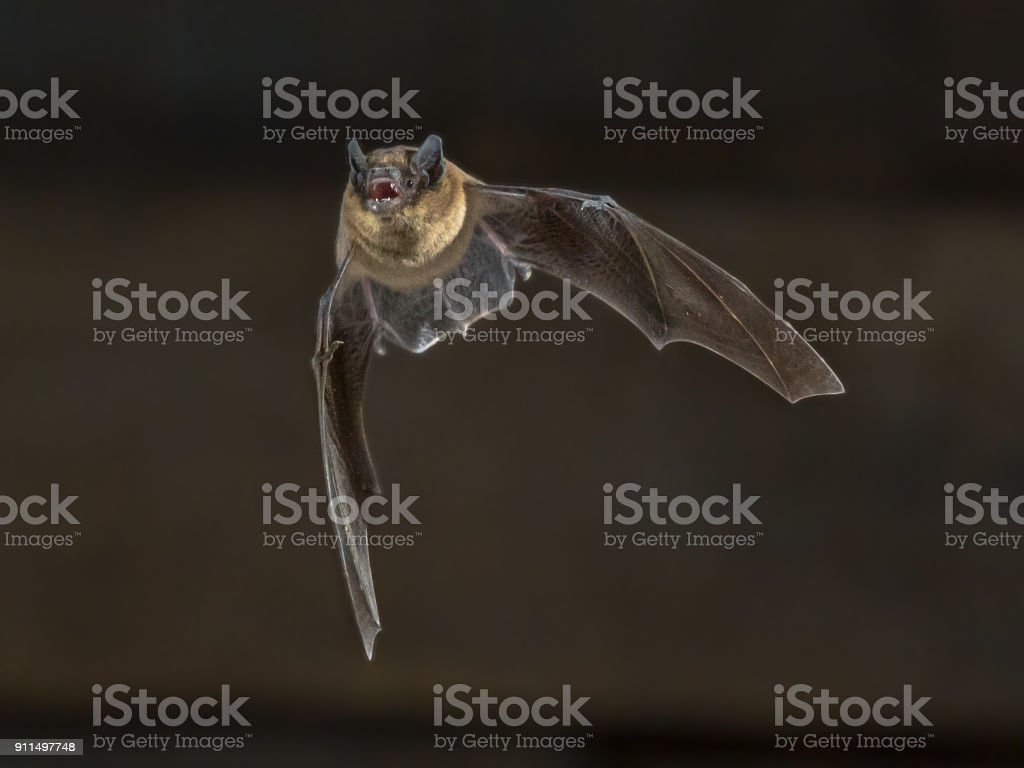 Flying Pipistrelle bat on wooden attic stock photo