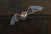 istock Flying Pipistrelle bat on wooden ceiling 948269294