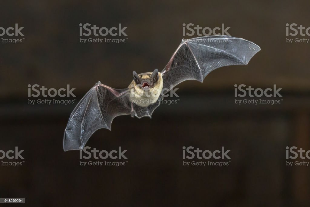 Flying Pipistrelle bat on wooden ceiling stock photo