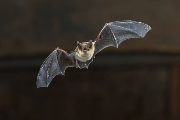 Flying Pipistrelle bat on wooden ceiling stock photo