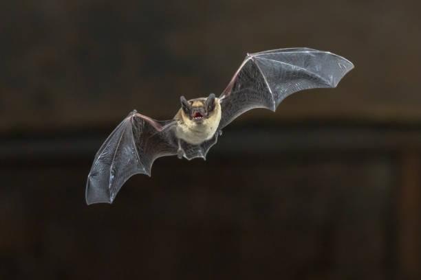 fliegende fledermaus zwergfledermaus auf holzdecke - jagdthema schlafzimmer stock-fotos und bilder
