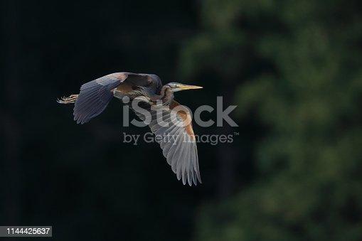 Purple heron flying in the last sunlight.