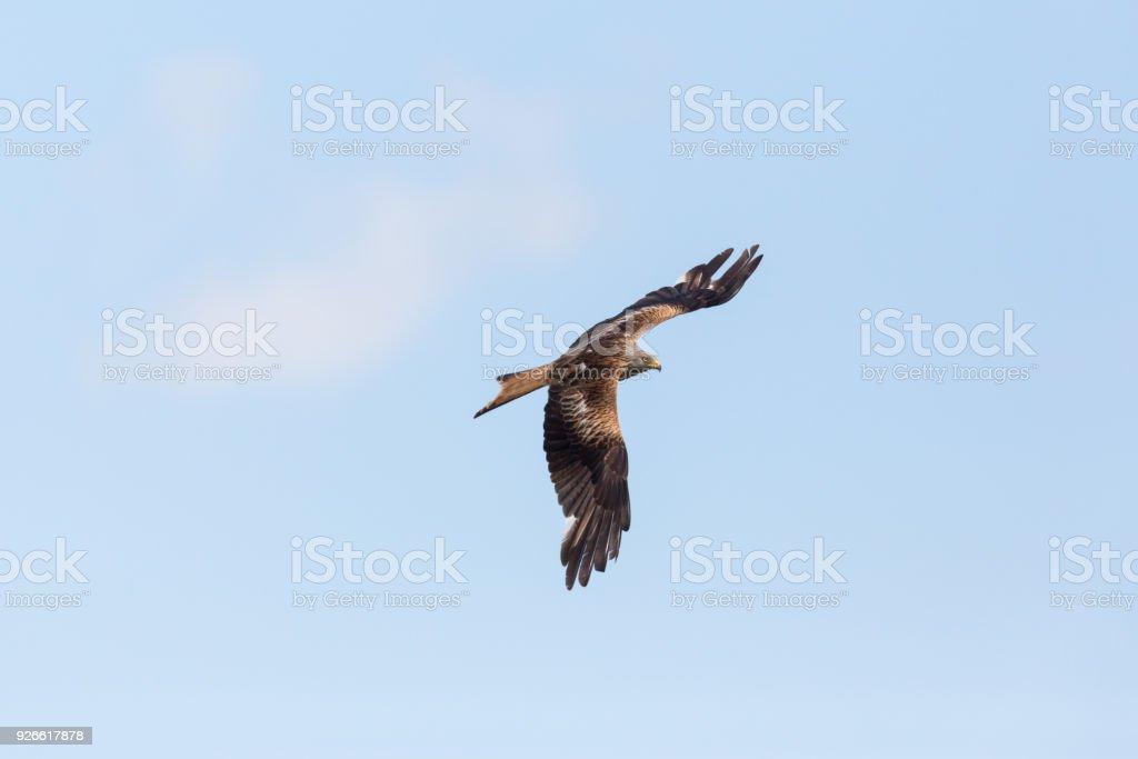 breiten Sie Rotmilan (Milvus Milvus), blauer Himmel, weiße Wolke fliegen aus, die Flügel – Foto