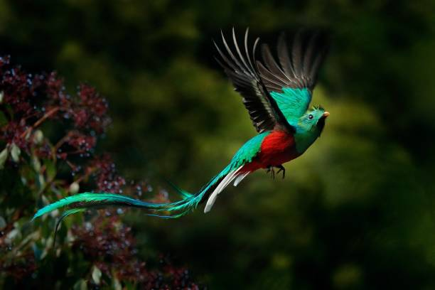 Flying Resplendent Quetzal, Pharomachrus mocinno, Savegre in Costa Rica, with green forest background. Magnificent sacred green and red bird. Action fly moment with Resplendent Quetzal. Birdwatching stock photo