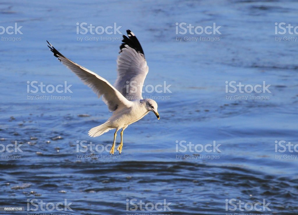 Flying Ring-billed Gull stock photo