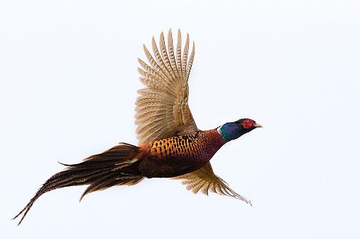 Pheasant - Bird, Pheasant Meat, Flying, Fasan