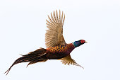 Pheasant - Bird, Pheasant Meat, Flying, Fasan