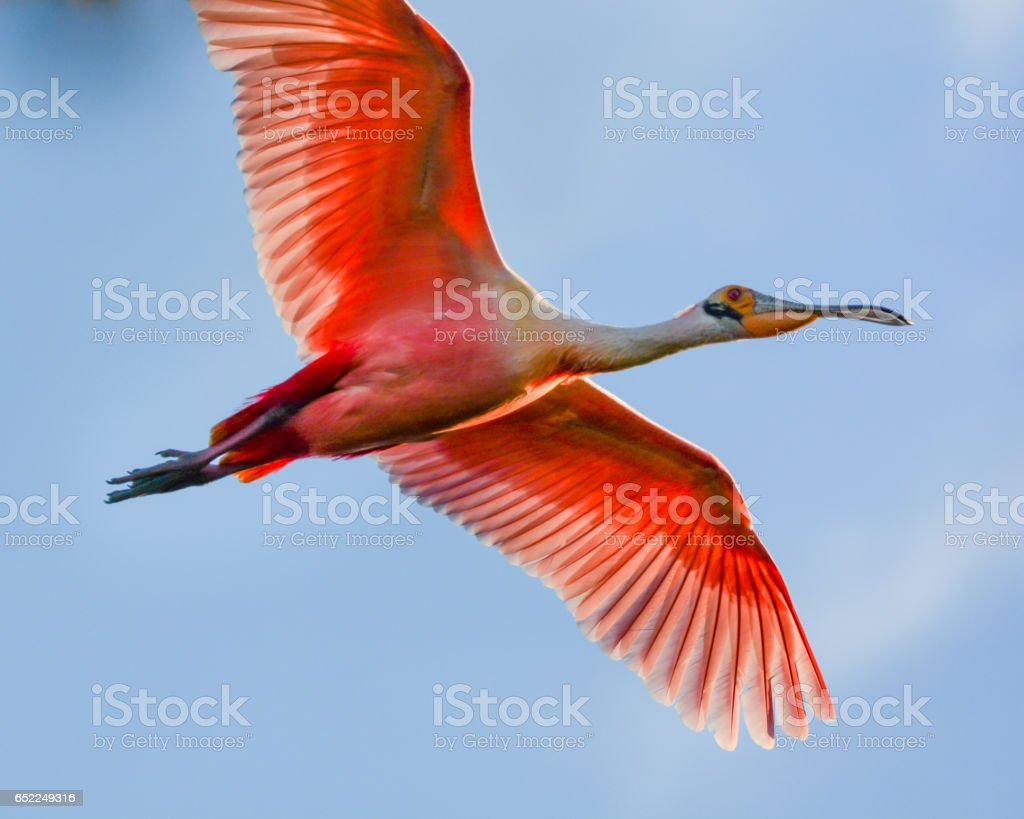 Flying Roseate Spoonbill Up Close stock photo