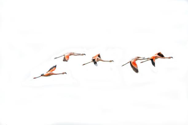 Fliegende rosa Flamingos an Nimez Vögel Reservierung Bereich, Patagonien – Foto