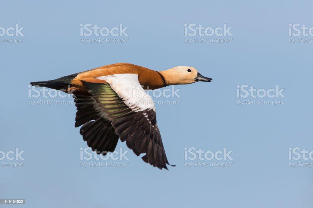 Flying ruddy shelduck (Tadorna ferruginea) stock photo