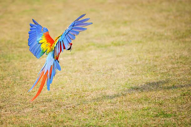 Flying Scarlet macaw - Ara macao stock photo