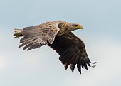 Flying sea eagle in germany lower saxony