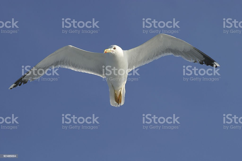 Flying sea gull royalty-free stock photo