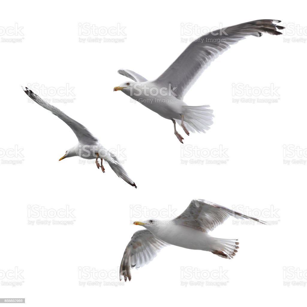 Flying sea gulls stock photo
