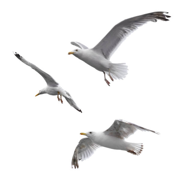 Flying sea gulls stock photo