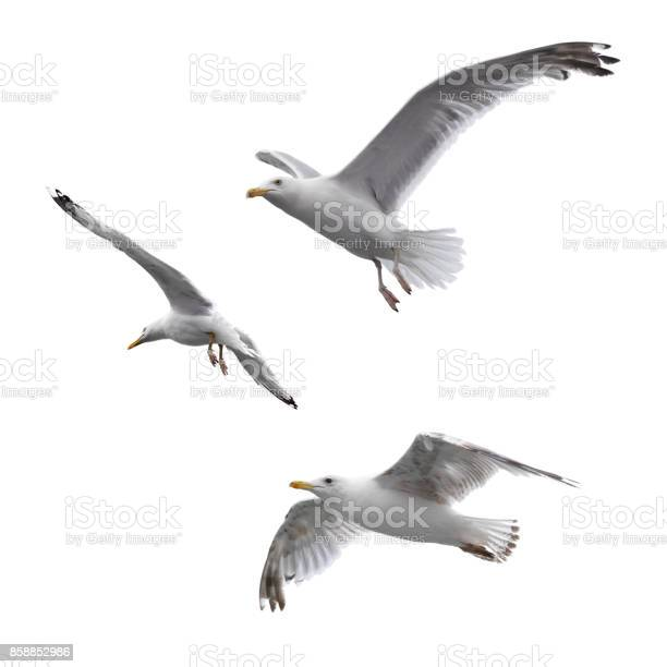 Flying sea gulls isolated on the white background