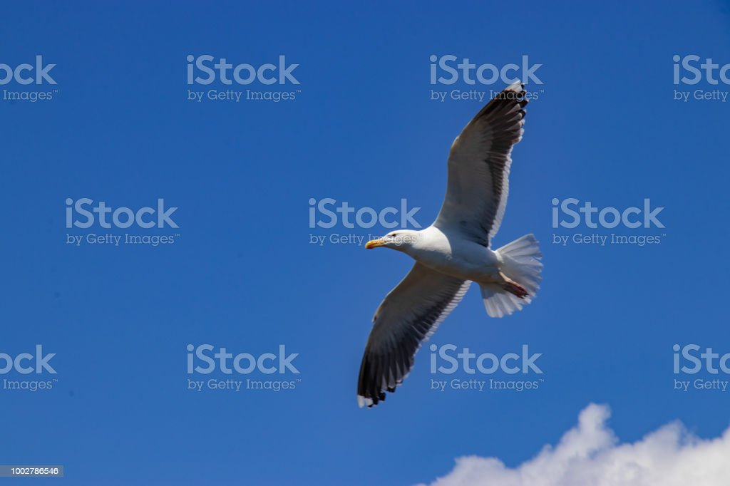 A flying seagull against a blue sky background. stock photo