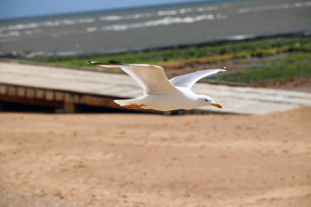 Flying seagull at the beach stock photo