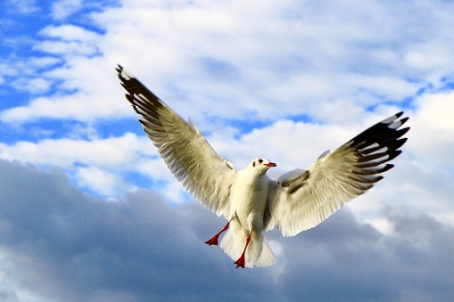 Flying seagull bird with cloud and sea background