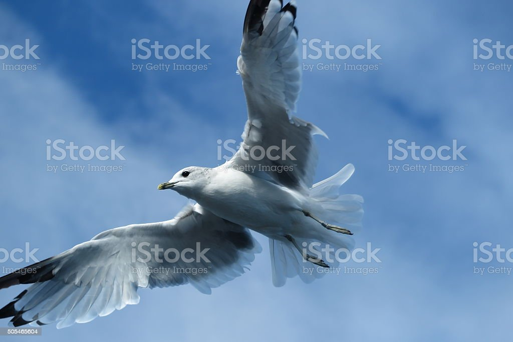 Flying seagull in harbour stock photo