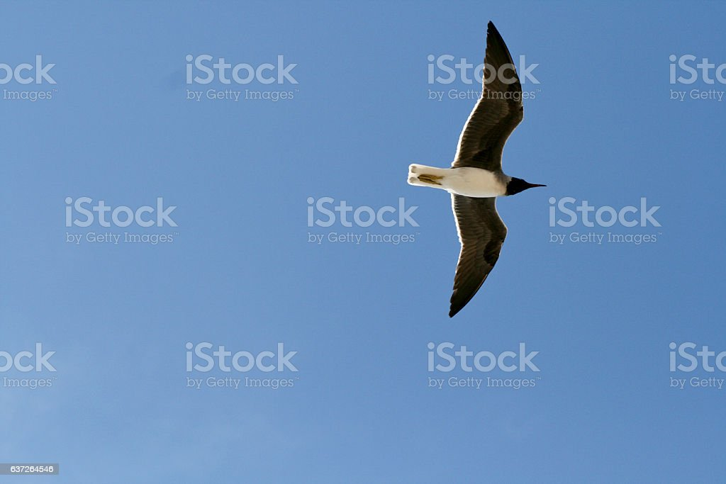 Flying seagull in the Nature stock photo