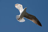 A flying seagull isolated against a clear blue sky in late spring or early summer.