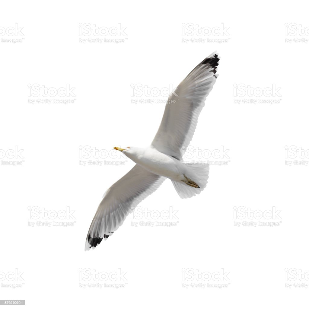 Flying seagull isolated stock photo