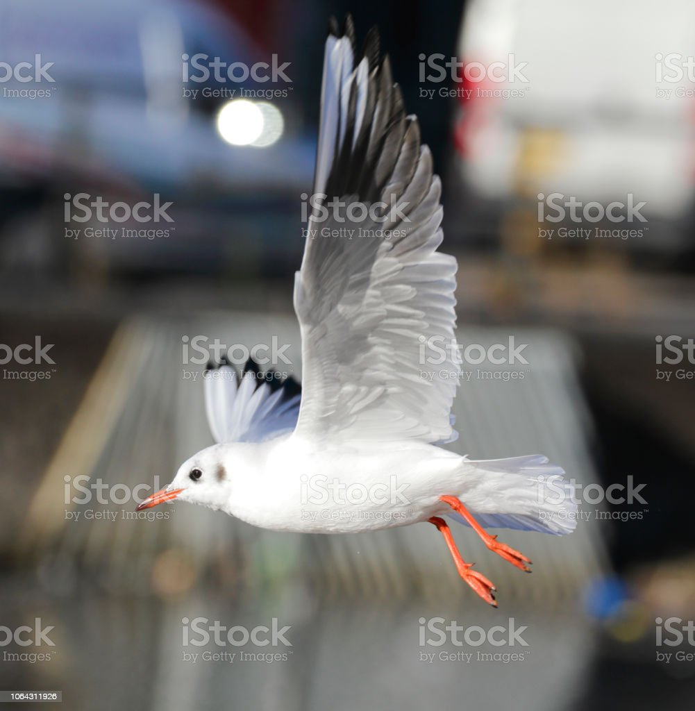 Flying seagull Larus ridibundus black-headed gull stock photo