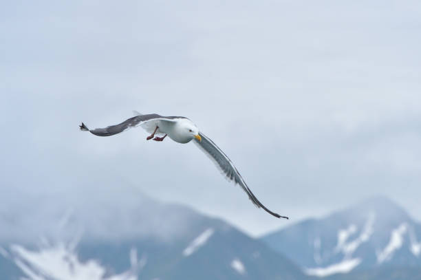 Flying seagull on a background of mountains.
