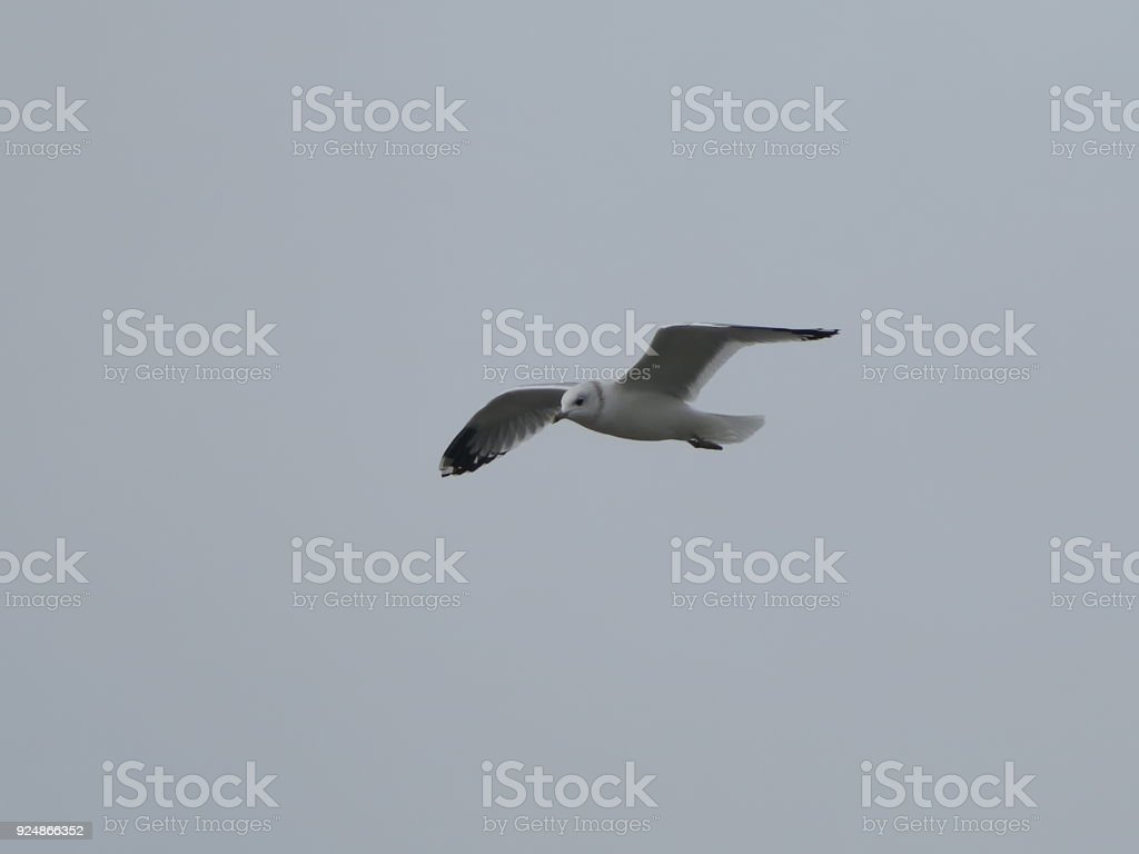 Flying seagull on grey background stock photo