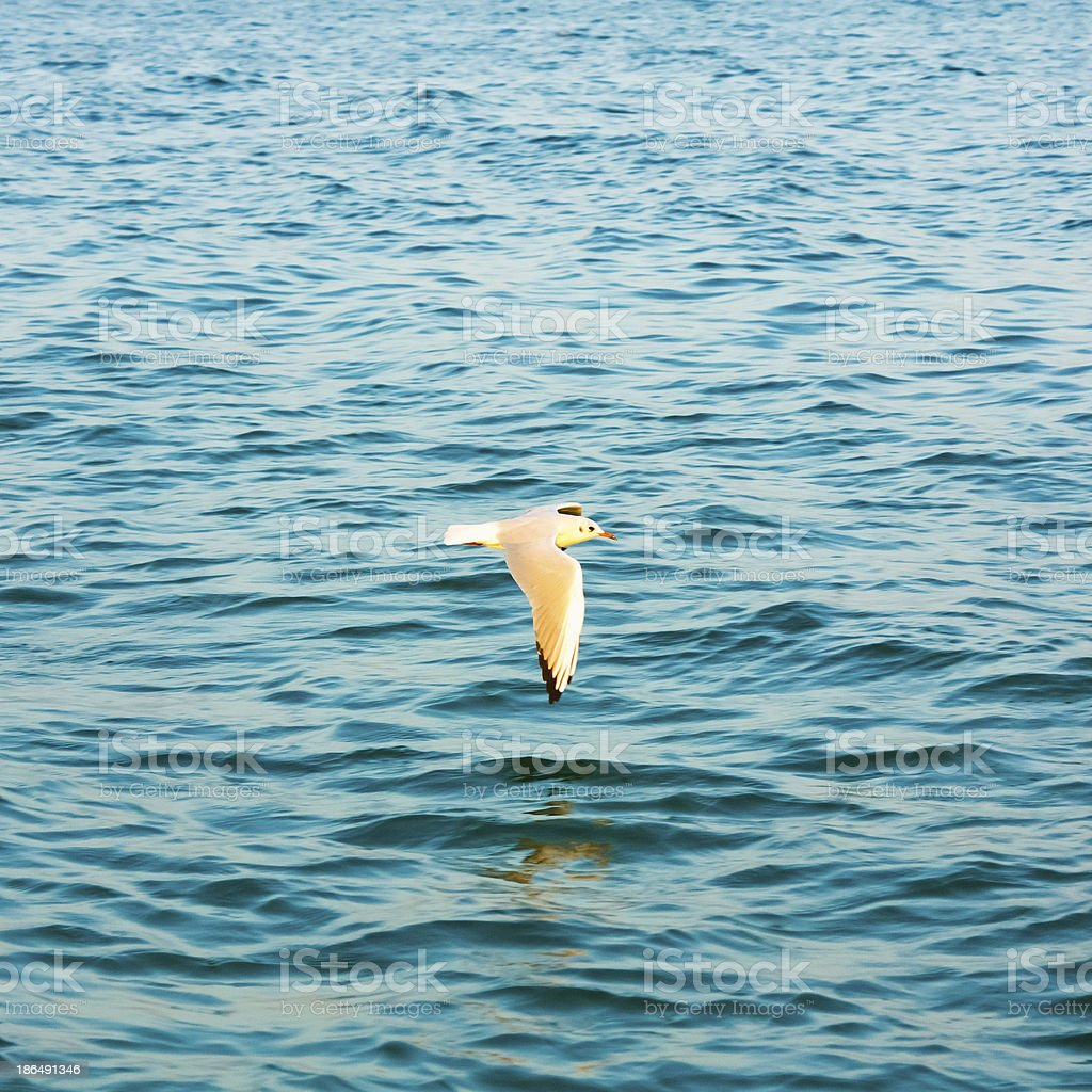 Flying seagull over blue water background royalty-free stock photo