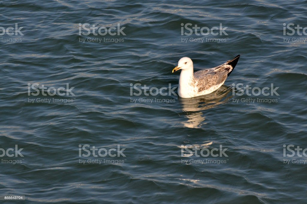 Flying Seagull taking food from Danube river in Belgrade, Serbia stock photo