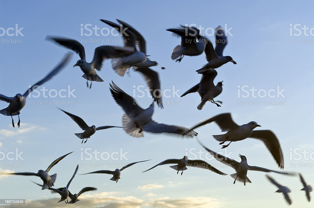Flying seagulls birds in the sky royalty-free stock photo