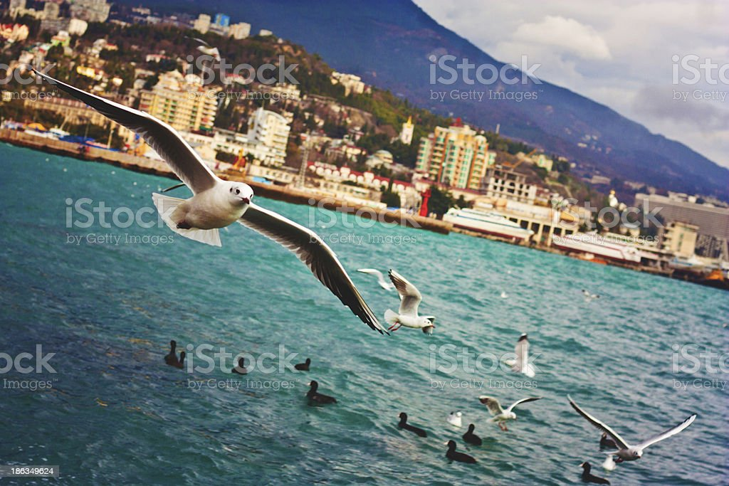 Flying seagulls in Yalta. stock photo