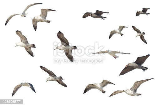 Many different flying seagulls isolated on white background